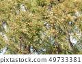 삼나무 꽃가루 49733381