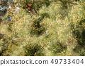 삼나무 꽃가루 49733404