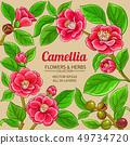 camellia vector frame 49734720