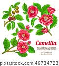 camellia vector set 49734723
