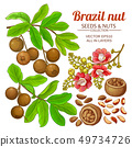 brazil nut vector set 49734726