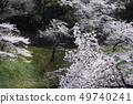 벚꽃지는 49740241