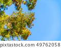 삼나무 꽃가루 【나가노 현】 49762058