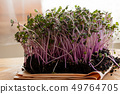 Red cabbage microgreens in soil on a wooden table 49764705