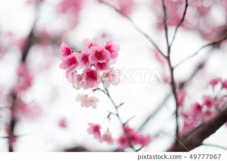 櫻花 49777067