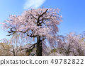 마루야마 공원 벚꽃 49782822