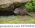 portrait of nutria in the grass in border river 49794846