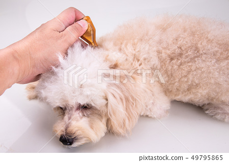 Applying Essential oil spot-on drips on dog 49795865