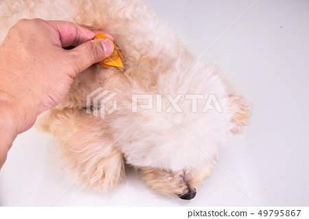 Applying Essential oil spot-on drips on dog 49795867