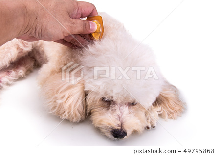 Applying Essential oil spot-on drips on dog 49795868