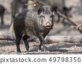Wild boar in forest 49798356