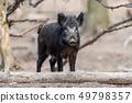 Wild boar in forest 49798357