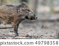 Wild boar in forest 49798358