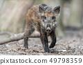 Wild boar in forest 49798359