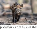 Wild boar in forest 49798360