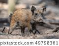 Wild boar in forest 49798361