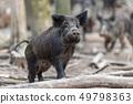 Wild boar in forest 49798363