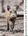 Wild boar in forest 49798364