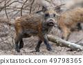 Wild boar in forest 49798365