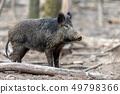 Wild boar in forest 49798366