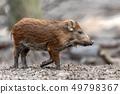 Wild boar in forest 49798367