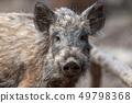 Wild boar in forest 49798368