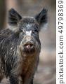 Portrait wild boar in forest 49798369