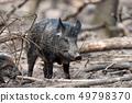 Wild boar in forest 49798370