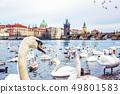 Swans in Vltava river and Charles bridge in Prague 49801583