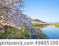 白石川 눈 천개 벚꽃 눈 천개 벚꽃 가로수 49805100