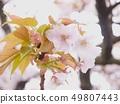 櫻桃樹 49807443