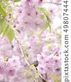 櫻桃樹 49807444