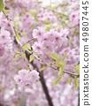 櫻桃樹 49807445
