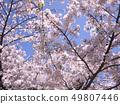 櫻桃樹 49807446
