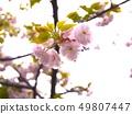 櫻桃樹 49807447
