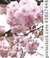 櫻桃樹 49807448