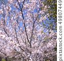櫻桃樹 49807449