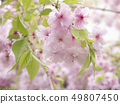 櫻桃樹 49807450