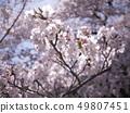 櫻桃樹 49807451