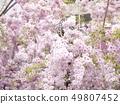 櫻桃樹 49807452