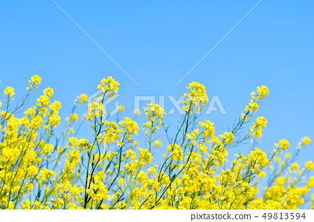 與藍天和油菜花 49813594