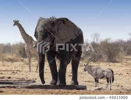 Huge african elephant, an oryx and a giraffe 49815900