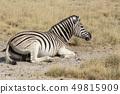 Zebra resting on the ground 49815909