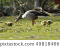 The European Greylag Goose with Chicks 49818466