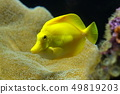 Zebrasoma is a genus of surgeonfishes native to 49819203