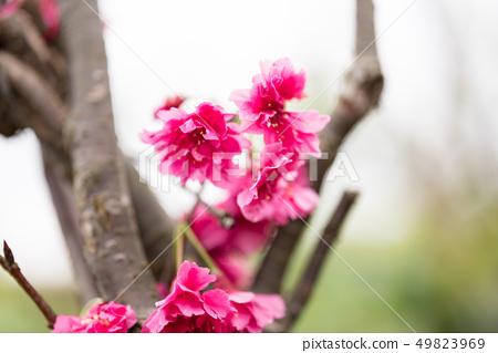 日本櫻花。這是一個美好的時光。 49823969