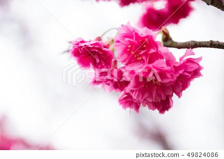 日本櫻花。這是一個美好的時光。 49824086