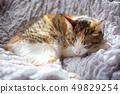 邁克貓可愛的睡臉 49829254