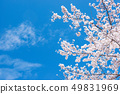 Cherry Blossom. A symbolic flower tree in Japan. 49831969