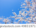 Cherry Blossom. A symbolic flower tree in Japan. 49831971